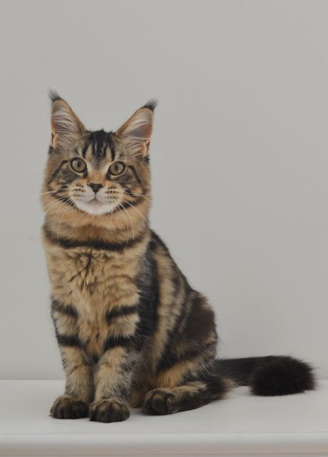 maine coon cats hvid